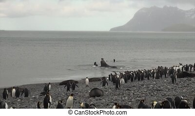 Imperial penguins watch battle of seals males in ocean of...