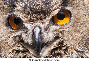 the eyes of a Real owl, (bubo bubo) - Closeup of a...