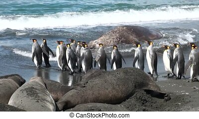 Group of king penguins on background of seals on beach of...