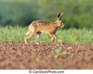 European brown hare, Lepus europaeus, single hare on field,...