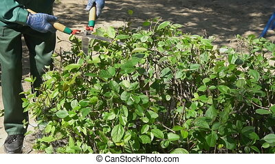 Gardener trimming green hedge branches. Landscaping concept.