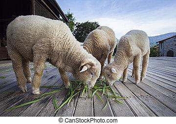 merino sheep eating green grass leaves in livestock farm