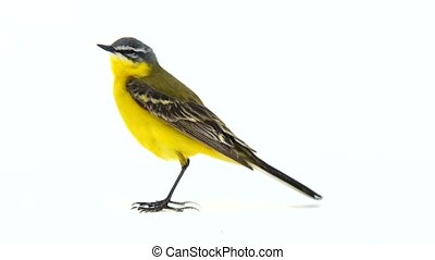 Western yellow wagtail (Motacilla flava) isolated on a white...