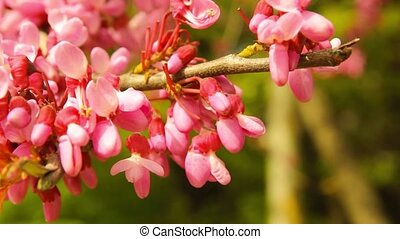 blooming Judas Tree closeup video - blossoming Judas Tree -...