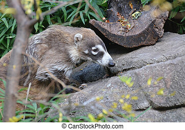 White Nosed Coati - Foraging white nosed coati in the wild.