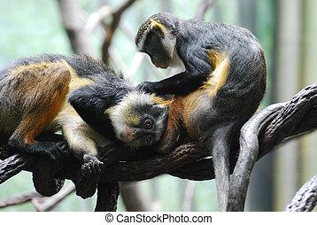 mona, két,  wolf's, Más, elágazik, mindegyik, ápolás, majmok