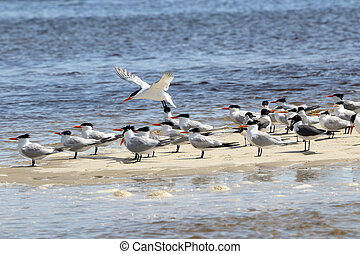 Caspian terns and laughing gulls on a sandbar - Several...