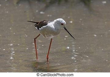 Black-winged stilt, common stilt, or pied stilt Himantopus...