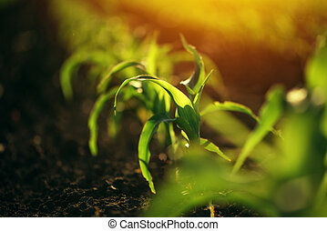 Young small corn plant seedlings in soil, macro shot with...