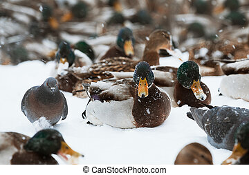 Winter Park duck pond - A large concentration of ducks in...