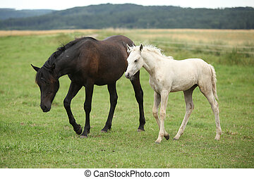 Beautiful foal with mare on pasturage in summer