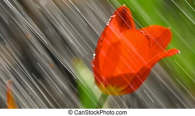 Red tulip flower under rain - Raindrops on the petals of a...