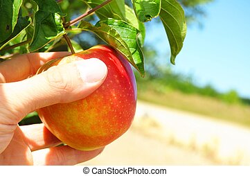 apple on tree - red apple on tree and hand showing healthy...