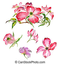 Wildflower dogwood flower in a watercolor style isolated....