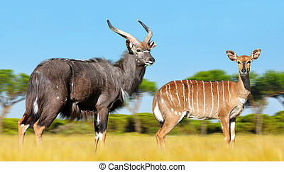 Male and female Nyala antelope. - Male and female Nyala...