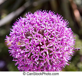 Giant onion flower in close up