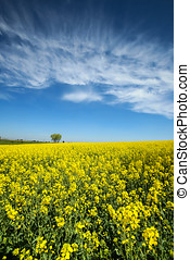Fields in Germany - A view of yellow flowering rapeseed...