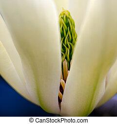 Green Magnolia Stigma peers between flower petals
