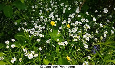 Fresh white flowers at early summer nature