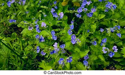 Fresh blue flowers at early summer nature - Fresh blue...