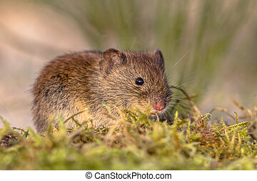 Bank vole in natural vegetation - Bank vole (Myodes...