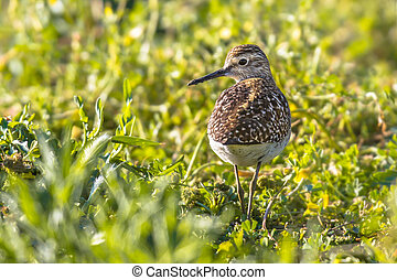 Common sandpiper during migration in Cyprus salt marsh -...