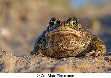 Natterjack toad frontal view - Frontal view of a Natterjack...
