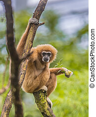 Lar gibbon perched on branch in rainforest jungle - Lar...