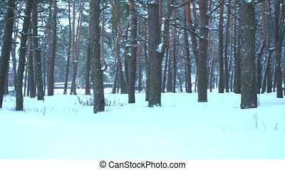Winter snow forest and white snowdrifts - Winter snow pine...