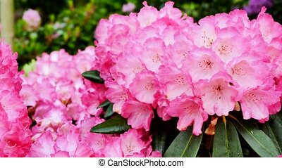 Close up flower of pink rhododendron. The camera moves back...