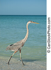 Great Blue Heron Walking on a Gulf Coast Beach - A Great...