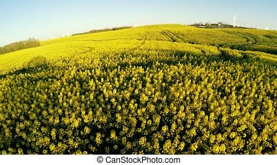 Flight over a field with rapeseed. - Flight over a field...