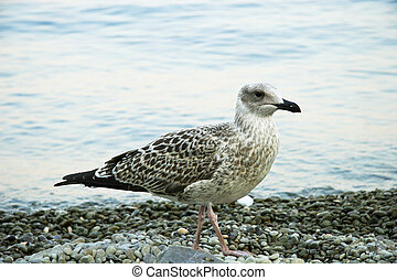 Sea-gull