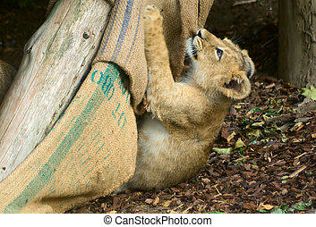 Lion cub playing - Small lion P Leo cub playing with the rug...