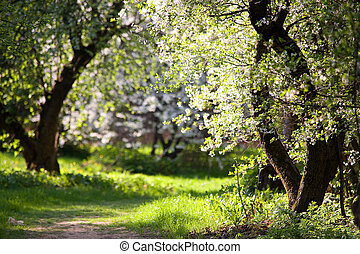 Blooming Apple Trees in the park Pathway Spring Russia