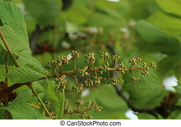Aesculus hippocastanum is a large deciduous tree, commonly...