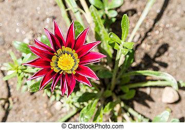 flor, vermelho, Gazela
