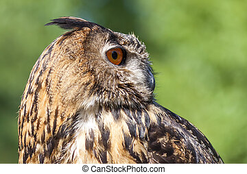Real owl, (bubo bubo) - Closeup of a magnificent exemplar of...