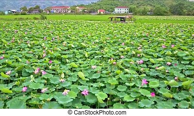 Drone Flies Backward across Lotus Field from Town - drone...