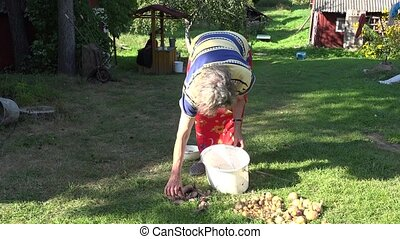 woman gather beetroot in bucket in garden yard summer time....