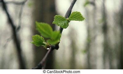 Slow mo. Birch leaves with rain drops - Slow mo. Leaves of...