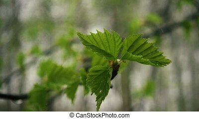 Three leaves of birch after rain. Slow mo - Three leaves of...