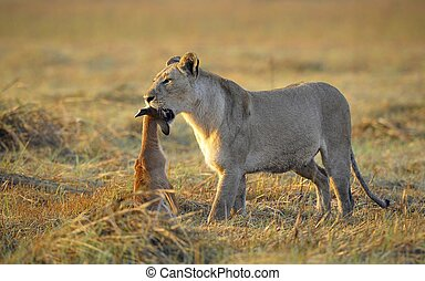 Lioness with prey. - A lioness with new-born antelope prey....