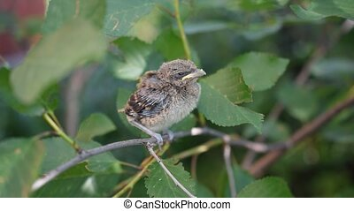 Very young fledgling perching on twig - Very young...