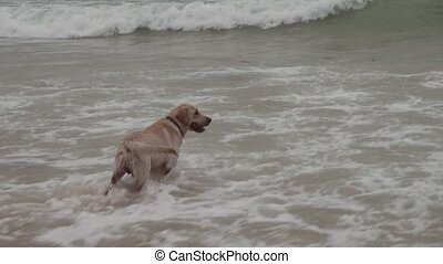 Labrador dog boldly bathes in large sea waves - Labrador dog...