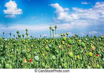 poppy field - greeen poppy field with the blue sky