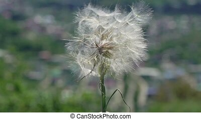 Dandelion and wind at sunny day