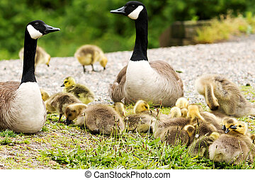 Goslings resting on each other - A family of Canadia geese...