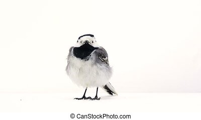 White Wagtail (Motacilla alba) isolated on a white...