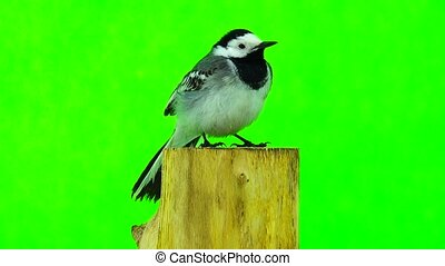 White Wagtail (Motacilla alba) isolated on a green...